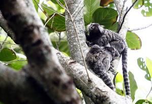 Morte de oito macacos em Teresópolis preocupa especialistas Foto: Mônica Imbuzeiro / Agência O Globo