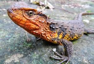 Cientistas estimam que existam menos de 200 do recém descoberto crocodilo-lagarto no Vietnã Foto: THOMAS ZIEGLER / AFP