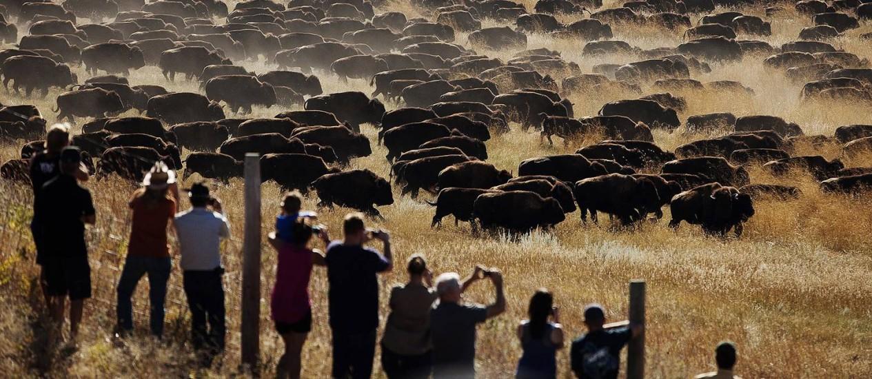 Turistas assistem ao espetáculo dos búfalos no rodeio anual realizado sempre na última sexta-feira de setembro no Custer State Park, na Dakota do Sul (EUA). A foto é da 49ª edição do evento, em 2014 Foto: Kristina Barker / AP