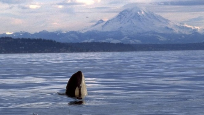 Uma orca é vista em Puget Sound, perto de Seattle: barulho de barcos de observação turística, além de poluição do meio ambiente, ameaça a sobrevivência da espécie Foto: Fred Felleman / AP Photo/Orca Conservancy