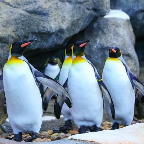 Um grupo com dez pinguins rei foi realocado para uma sala com calefação Foto: Zoológico de Calgary