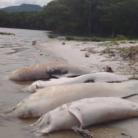 Botos mortos na Baía de Sepetiba, em Itacuruçá Foto: Divulgação / Instituto Boto Cinza