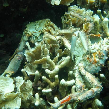Baixa oxigenação provocou a morte da vida marinha em Bocas del Toro, no Panamá Foto: Arcadio Castillo/Smithsonian