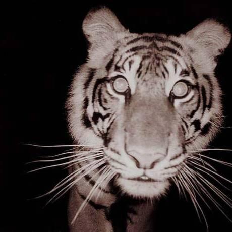 O tigre de Sumatra está em risco de extinção, segundo a União Internacional para a Conservação da Natureza Foto: WIKIPÉDIA