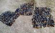 Centenas de morcegos foram encontrados mortos em Sydney, na Austrália