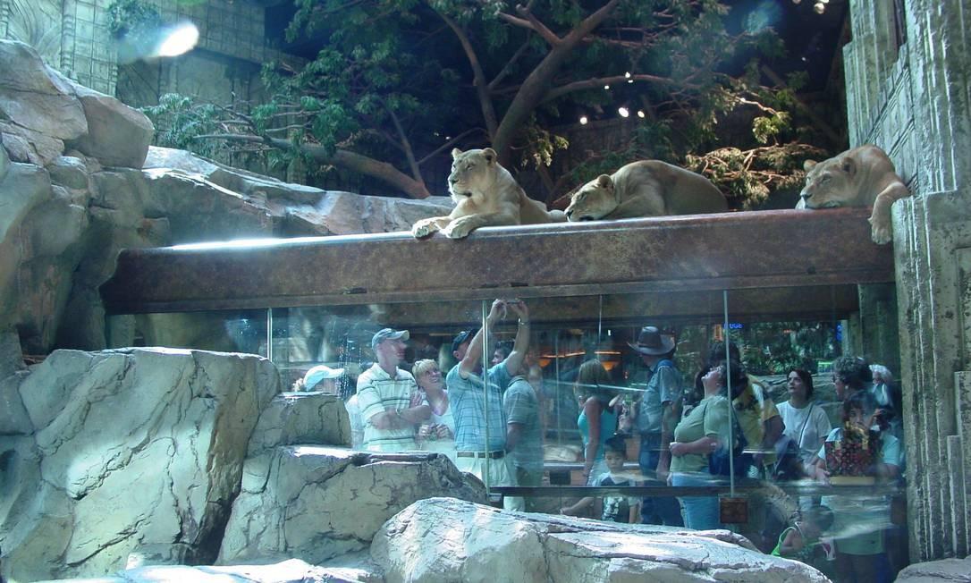 Área dos leões no Hotel MGM Grand, em Las Vegas: turistas em festa Foto: Glauce Cavalcanti / Agência O Globo