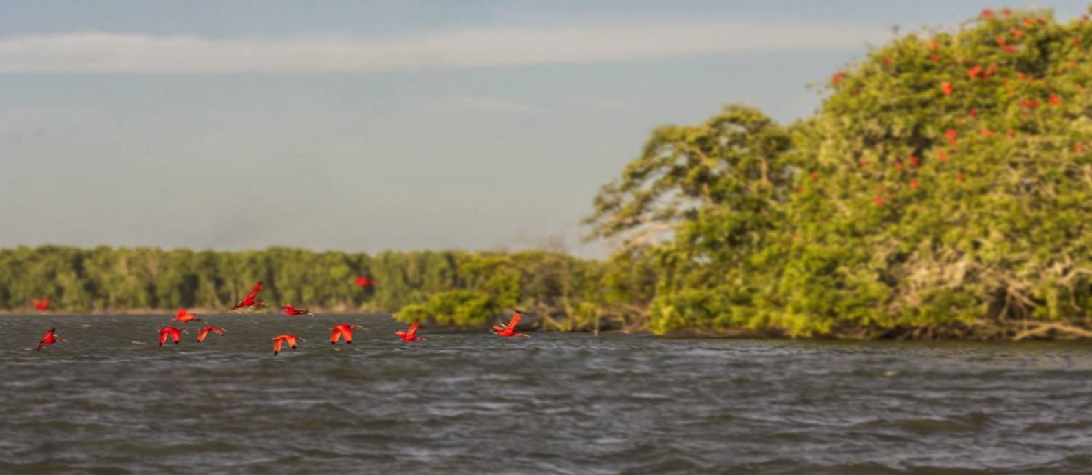 Revoada de guarás pinta de vermelho a paisagem no Delta do Parnaíba, no Piauí Foto: Elisa Martins / Agência O Globo