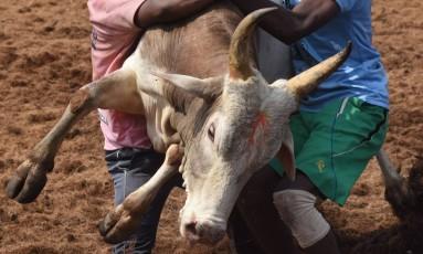 Homens tentam controlar um touro durante a competição Jallikattu, no estado de Tamil Nadu, na Índia Foto: ARUN SANKAR / AFP