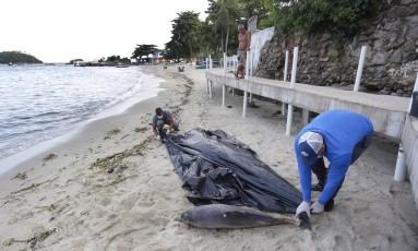 Equipe do Instituto Boto Cinza recolhe filhote de boto morto na praia da Ilha Jaguanum, em Mangaratiba Foto: Marcio Alves / Agência O Globo