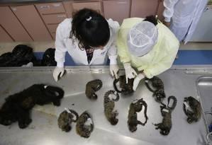 Pesquisadores fazem autópsias em macacos mortos no Rio de Janeiro Foto: Pedro Teixeira / Agência O Globo