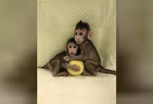 Os macacos-de-cauda-longa clonados Zhong Zhong e Hua Hua, que nasceram oito e seis semanas atrás Foto: Cell/REUTERS