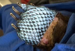 Pedaços da pele de tilápia foram cortados exatamente do tamanho dos ferimentos Foto: Travis VanZant / Departamento de Pesca e Vida Selvagem da Califórnia