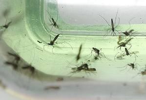 Mosquitos Aedes aegypti são transmissores de muitos vírus da família flavivírus, como zika, chicungunha e o vírus do Oeste do Nilo Foto: Antonio Scorza / Agência O Globo
