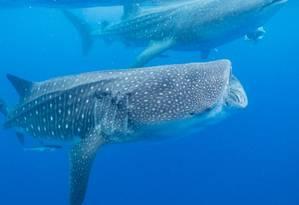Tubarão-baleia: espécie está incluída no rol das ameaçadas de extinção Foto: Divulgação/Marine Megafauna Foundation