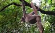 Macaca Esmeralda nas matas de Ibitipoca