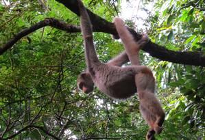 Macaca Esmeralda nas matas de Ibitipoca Foto: Divulgação- Priscila Pereira / Agência O Globo