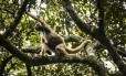 Muitos macacos tem sido mortos por conta da falsa associação dos animais com a propagação da febre amarela