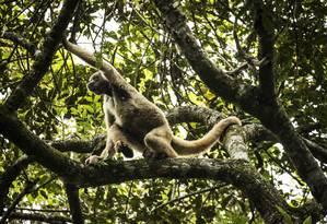 Muitos macacos tem sido mortos por conta da falsa associação dos animais com a propagação da febre amarela Foto: Guito Moreto / Agência O Globo