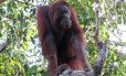 O orangotango de Bornéu está listado como ameaçado de extinção pela União Internacional para a Conservação da Natureza Foto: Marc Ancrenaz