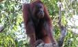 O orangotango de Bornéu está listado como ameaçado de extinção pela União Internacional para a Conservação da Natureza