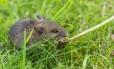 O roedor teria sido introduzido nas Ilhas Antípodas após um naufrágio há mais de um século, acreditam especialistas Foto: Alamy stock photo