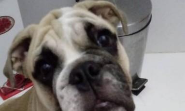 Cachorro Bulldog roubado no Cachambi Foto: Reprodução