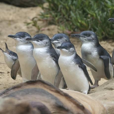 A Marcha dos Pinguins no Phillip Island Nature Parks, em Melbourne, na Austrália. Foto: Wildvik/WikimediaCommons