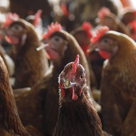 Foi revelada a existência da bactéria Salmonella pullorum em 46 mil aves numa fábrica da BRF Foto: Michel Filho / Agência O Globo