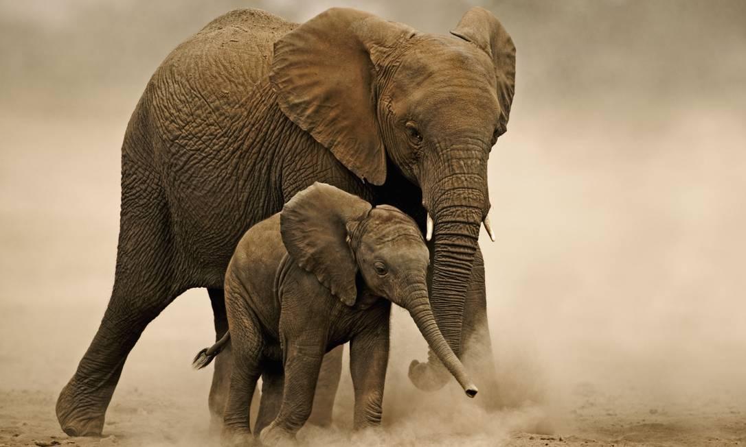 Elefantes africanos precisam beber de 150 a 300 litros de água por dia. Temperaturas mais quentes e menos chuvas, bem como o aumento projetado dos períodos de seca severa, terão um efeito direto no tamanho das populações. À medida que a água e comida tornam-se escassos, eles podem competir por estes recursos com seres humanos e outras manadas. Foto: Divulgação / Martin Harvey/WWF