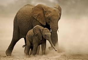 Elefantes africanos precisam beber entre 150 a 300 litros de água por dia. Temperaturas mais quentes e menos chuva, bem como um aumento projetado em períodos de seca severa, terão um efeito direto no tamanho das populações. À medida que a água e comida tornam-se escassos, eles podem competir por estes recursos com seres humanos e outras manadas. Foto: Divulgação / Martin Harvey/WWF