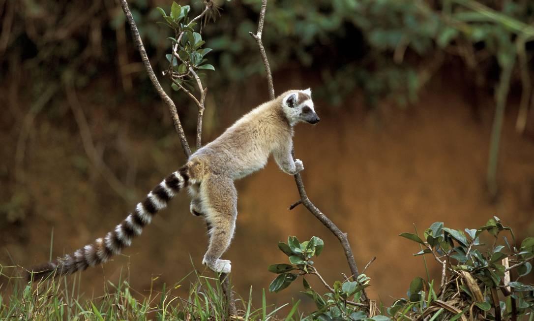 Os lêmures são encontrados apenas em Madagascar. Um estudo de 2015 demonstrou que 60% das 57 espécies conhecidas teriam sua distribuição reduzida substancialmente (média de 56,9%), devido ao aquecimento projetado entre 2ºC e 4°C. Foto: Divulgação / R.Isotti, A.Cambone/WWF
