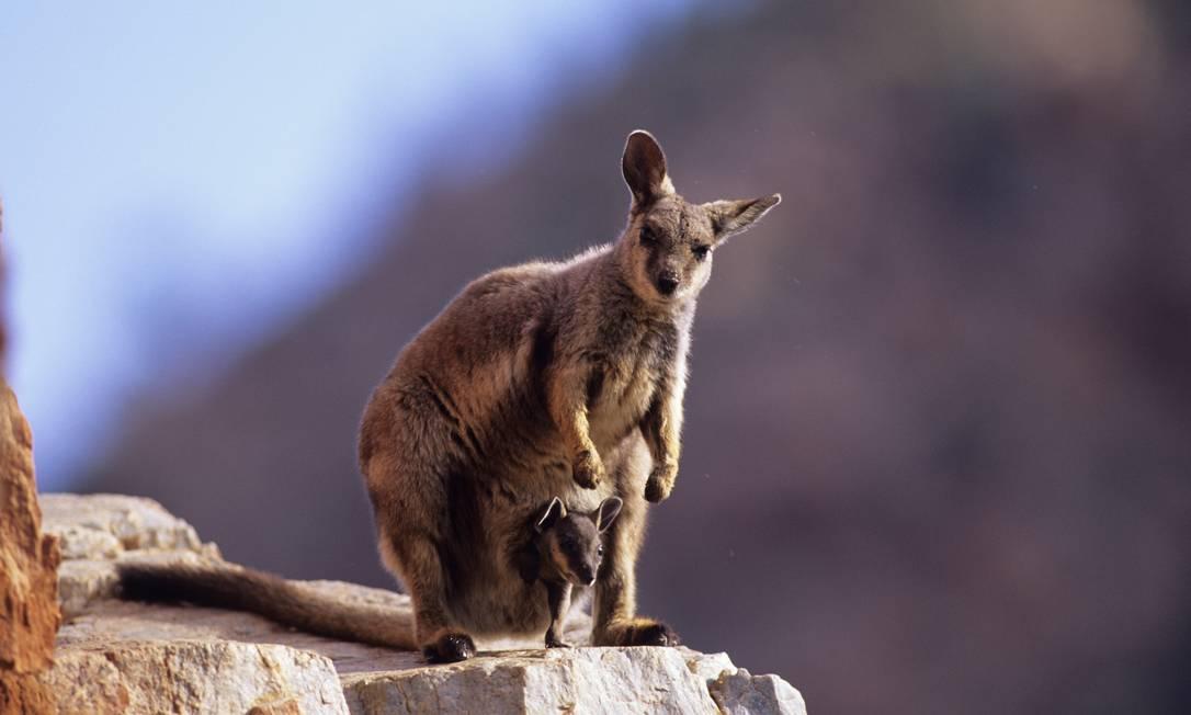 O wallaby é um marsupial australiano que se alimenta de plantas que devem desaparecer à medida que as temperaturas aumentam. Como o interior do país se torna cada vez mais árido, o animal terá seu hábitat reduzido às zonas costeiras. Foto: Divulgação / Dave Watts/WWF