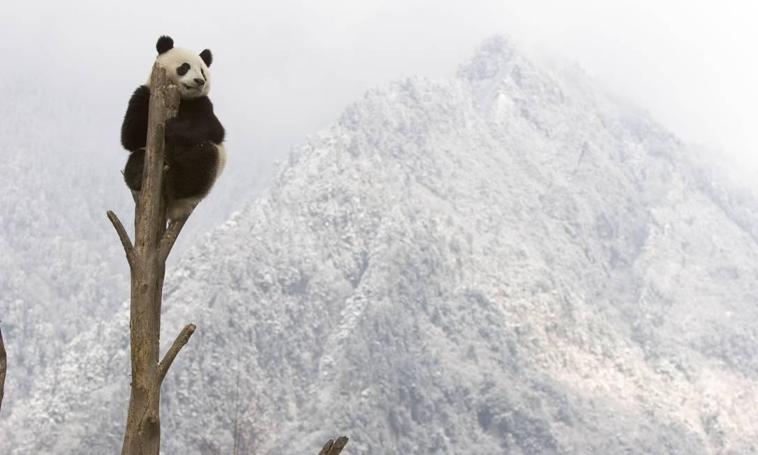 O atual hábitat do panda-gigante se tornará mais quente e mais seco à medida que as temperaturas globais aumentam. O bambu, planta de que depende exclusivamente para a sua dieta, deve tornar-se mais escasso. Sem nutrição suficiente, o animal pode atrasar ou interromper o desenvolvimento dos embriões. Foto: Divulgação / Juan Carlos Munoz/WWF