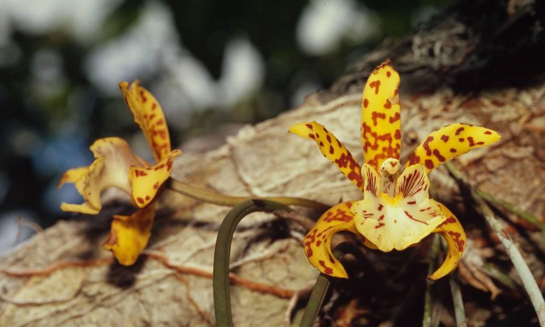A Amazônia abriga até 80 mil espécies de plantas, como as orquídeas ao lado. Muitas existem apenas na região. Elas ajudam a regular o clima global e os ciclos de água locais e a sustentar a rica fauna da floresta. Também fornecem alimentos, combustível, abrigo e medicamentos para as pessoas. Foto: Divulgação / Juan Pratginestos/WWF