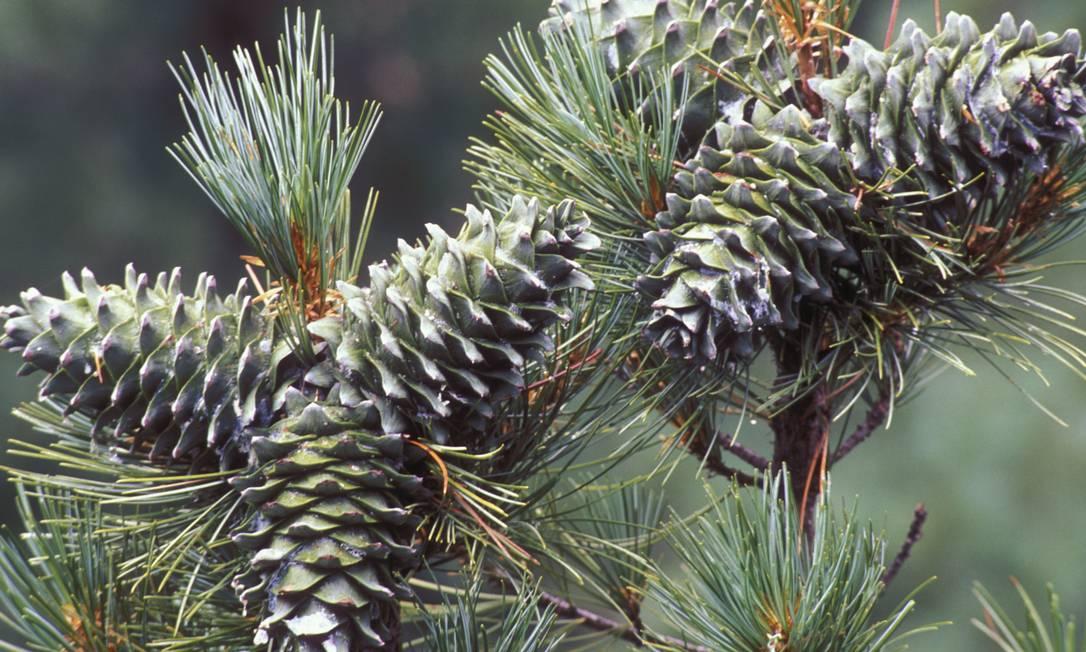 O pinheiro coreano é uma árvore particularmente importante na região e fornece hábitat ideal para espécies que são presas de tigres e de leopardos. A planta possui longa vida, mas está sujeita a estresses ambientais. Foto: Divulgação / Konstantin Mikhailov/WWF