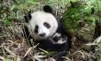 Panda-gigante: habitat mais seco diminuirá oferta de bambu, alimento que compõe a sua dieta