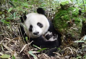 Panda-gigante: habitat mais seco diminuirá oferta de bambu, alimento que compõe a sua dieta Foto: Divulgação / Yong Yange/WWF