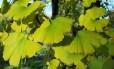 Planta Ginkgo biloba, que dá origem a fototerápicos