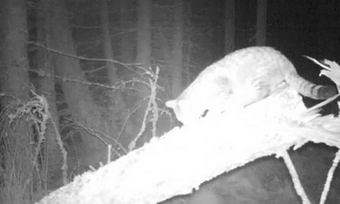 Gato selvagem com 1,2 metro foi filmado em floresta na Escócia Foto: Wildcat Haven