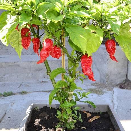 A 'Carolina Reaper' é considerada a pimenta mais ardida do mundo Foto: WIKIPÉDIA