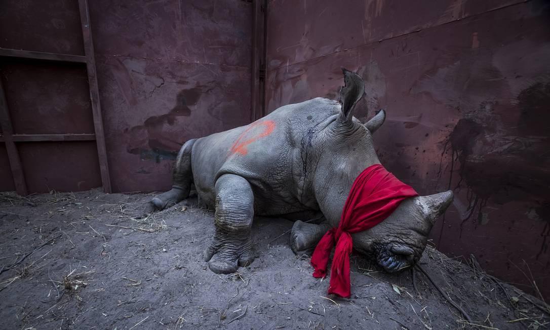 """Antes de ser libertado à natureza, rinoceronte sob efeito de drogas e com a vista coberta foi capturado por Neil Andridge em Botswana; a imagem """"Esperando pela Liberdade"""" levou o World Press Photo na categoria Meio Ambiente Neil Aldridge / AP"""