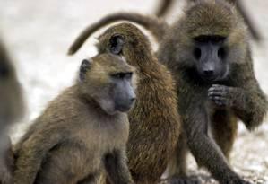 O Texas Biomedical Research Institute mantém cerca de 1.100 babuínos Foto: Clem Spalding Photography