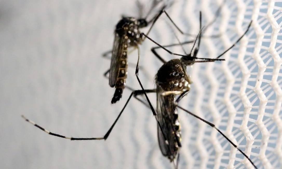 Mosquito Aedes aegypti, mosquito responsável pela transmissão da chicungunha e outras doenças como dengue e zika Foto: Paulo Whitaker / Reuters
