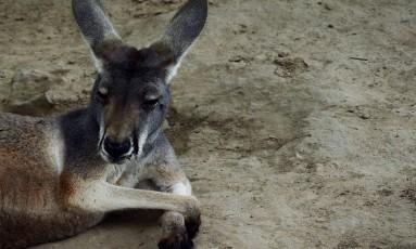 Com a morte da fêmea, restam apenas três cangurus no zoológico Fuzhou Foto: MARK RALSTON / AFP