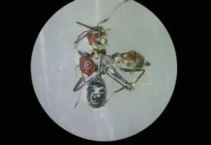 Imagem mostra uma Colobopsis explodens após explodir em outra formiga da mesma espécie, mas de colônia diferente Foto: ALEXEY KOPCHINSKIY/VIENNA TECHNI / AFP