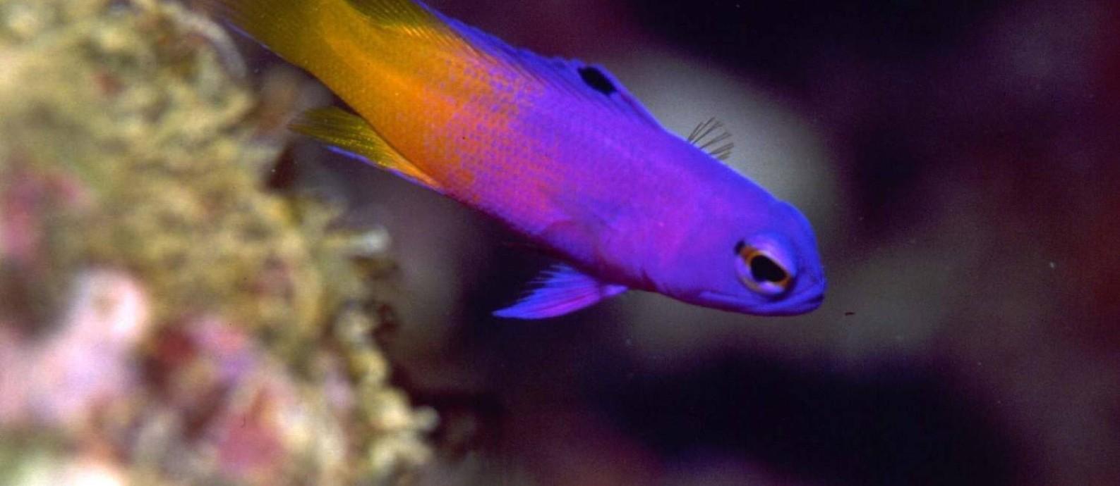 O loreto (Gramma brasiliensis), peixe encontrado apenas no litoral brasileiro: biodiversidade do Atlântico Sul está sendo explorada Foto: G. Allen / Divulgação/14-3-2006