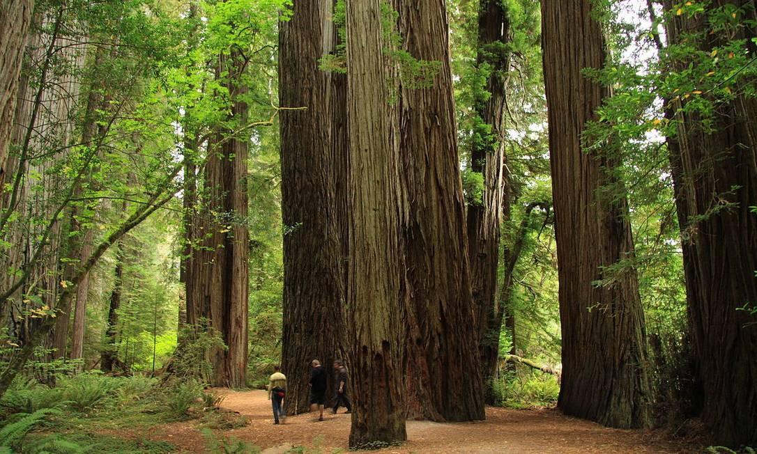 """Stout Memorial Grove, no Jedediah Smith Redwoods State Park, perto de Crescent City, na Califórnia. O parque, com suas árvores gigantes, foi usado para rodar as cenas da batalha de Endor, em """"O retorno de Jedi"""". Só não espere encontrar ewoks por lá Foto: Creative Commons"""