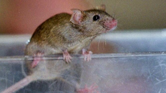 Teste foi feito com camundongos, que foram capazes de lembrar de diferentes odores na ordem em que foram apresentados Foto: Peter Morgan/Reuters
