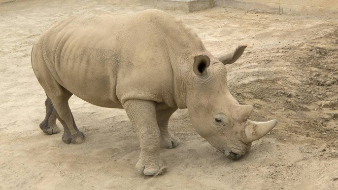 A rinoceronte do sul, Victoria, que está grávida Foto: Tammy Spratt / AP