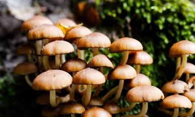 Não há informações sobre o tipo de cogumelo ingerido pelas vítimas Foto: Pixabay